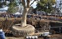 Đây là cách người Nhật di dời một cái cây