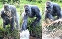 Khỉ đột quý hiếm nghịch nước trêu trẻ con