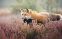 Gặp Freya, cô cáo đỏ người mẫu cực xinh đẹp