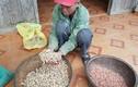 Hạt giống hỗ trợ nông dân nghèo Quảng Bình... không nảy mầm