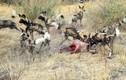 Kịch tính trận chiến truyền kỳ giữa chó hoang và linh cẩu