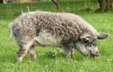 Thích thú những con lợn lông xù quý hiếm độc nhất thế giới