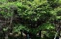 Phát hiện cây anh đào vua tuổi thọ ngàn năm ở Trung Quốc