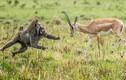 Căng thẳng đối đầu giữa linh dương và khỉ đầu chó khát máu
