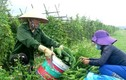 Mướp đắng Quỳnh Lưu mất mùa nhưng có giá kỷ lục