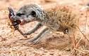 Kinh hoàng vẻ mặt khát máu của cầy meerkat sơ sinh