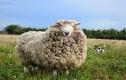"""""""Dân chơi"""" cừu trốn trại và hành trình trở thành thần tượng gây choáng"""