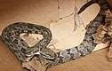 Bắt được rắn đuôi chuông hai đầu nhìn đáng sợ