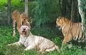 """Hổ trắng cực hiếm bị hổ vằn Bengal """"đánh hội đồng"""" đến chết"""