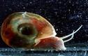 Kinh dị loài ốc sên sát thủ đoạt mạng người dễ dàng