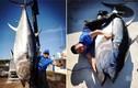 Bắt được cá ngừ vây xanh dài 3m, trị giá vài chục tỷ đồng