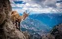Thót tim xem dê núi mạo hiểm mạng sống tìm muối khoáng