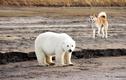 Gấu Bắc cực con vượt hơn 700km để làm điều bất ngờ này