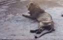 """Kinh hoàng vua sư tử bị bỏ đói còn """"da bọc xương"""""""