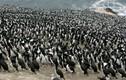 Chuyện lạ: Cường quốc làm giàu nhờ... phân chim