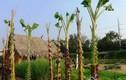 Trồng rau bằng cây chuối: Ý tưởng mới an toàn không hóa chất