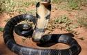 Bí ẩn bầy rắn độc canh kho giữ tiền ở Thái Nguyên