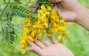 Các bài thuốc từ cây điền thanh chữa bệnh không ngờ