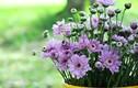 Loại hoa Tết nên trồng để thải độc không khí, ngừa bệnh tật