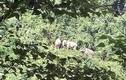 Đàn voi rừng về sống cạnh nương rẫy của dân Quảng Nam