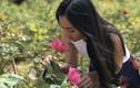Ảnh: Vườn hoa hồng vạn gốc của nữ luật sư Hà Nội xinh đẹp