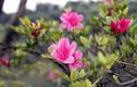 Những bài thuốc chữa bệnh hiệu quả từ hoa đỗ quyên