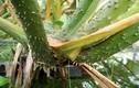 Bổ sung canxi cho bé, chữa bệnh hiệu quả bằng cây chóc gai