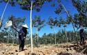 UBND tỉnh được quyền cho DN vốn nước ngoài thuê đất trồng rừng