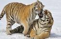 Hổ cái âu yếm bạn tình - ảnh động vật ấn tượng tuần