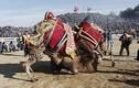 Kịch liệt cảnh lạc đà đực đấu vật mùa sinh sản
