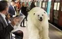 Gấu Bắc cực tung hoành trên đường phố London