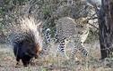 Báo đốm bị lông nhím chọc sưng mồm vì tham ăn