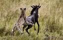 Báo đốm chạy bán sống bán chết vì linh dương phản đòn