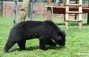 Đến thăm khu nuôi gấu bán tự nhiên đầu tiên của Việt Nam