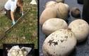 """Bắt được trăn Miến điện """"khủng"""" dài tới 4m cùng hàng chục trứng"""
