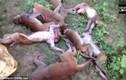 Hãi hùng tiếng hổ gầm, 12 con khỉ đột trụy tim chết tại chỗ