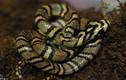 Cận cảnh rắn viền ngọc trai hiếm và đẹp nhất thế giới