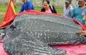 Cảnh an táng rùa khế quý hiếm dài hơn 3m ở Mũi Né