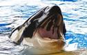 Cá voi sát thủ có thể tử vong vì... đau răng