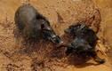Chó đại chiến lợn rừng đến chết gây kinh hoàng