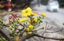 Hoa mai vàng bung nở rực rỡ ở Hà Nội ngày cận Tết