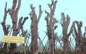 Ảnh: Những cây xà cừ trên đường Kim Mã giờ sống chết ra sao?