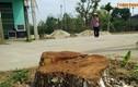 Trồng lại hàng loạt cây xanh bị chặt để dọn vỉa hè ở Hà Nội