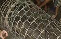 Nóng: Dân Hà Nội bắt được cá sấu nặng hơn 30kg trên sông
