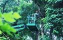 Ảnh: Công tác chuẩn bị chặt hạ, di dời 130 cây xanh đường Kim Mã