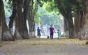 Ngơ ngẩn với mùa lá vàng tuyệt đẹp ở Hà Nội