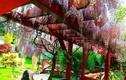 Khu vườn đẹp như thiên đường của mẹ Việt ở Séc