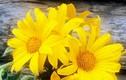 Tình yêu và hoa dã quỳ