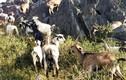 Ngẫm chuyện 12 con dê vào nhầm nhà bí thư huyện ủy