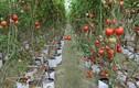 Ngắm vườn rau quả sum suê nhờ công nghệ cực độc ở VN